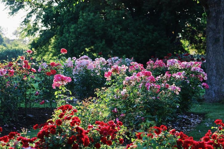 Beauty In Nature Day Flower Freshness Growth Nature No People Outdoors Plant Red Summer