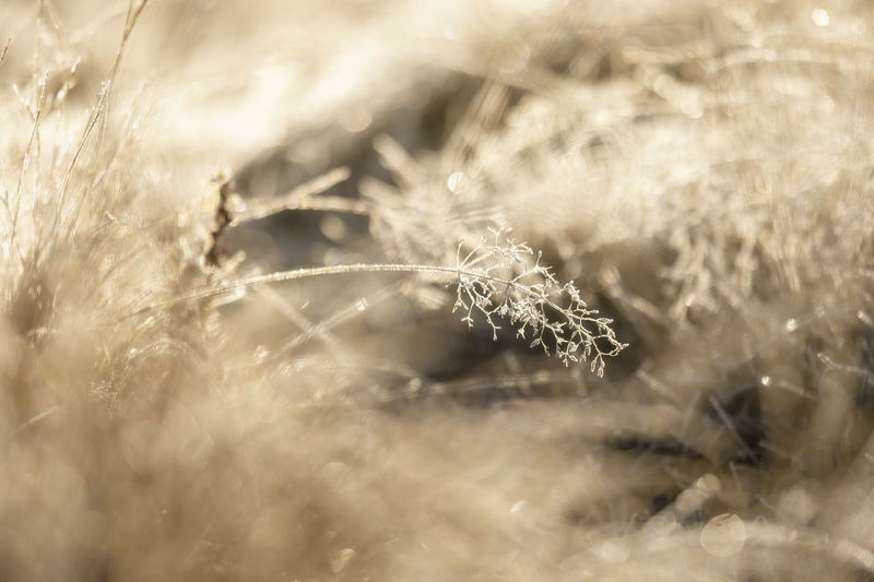 Close-up of frozen dandelion on field
