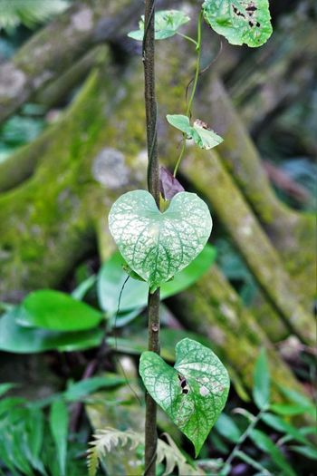 Trail of Hearts Green Hearts Natures Hearts Naturesbeauty No People Rain Forest Serenity Tree Roots