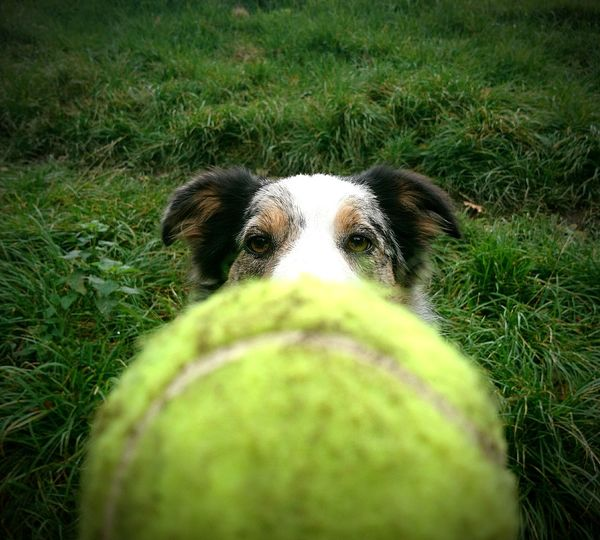 One Animal Grass Animal Themes Green Color Mammal Dog Domestic Animals Pets Outdoors Day Nature No People Looking At Camera Portrait Close-up Fixated Focused Tennis Ball Ball Border Collie Concentration Animal Wildlife Animals In The Wild Green Color Puppy