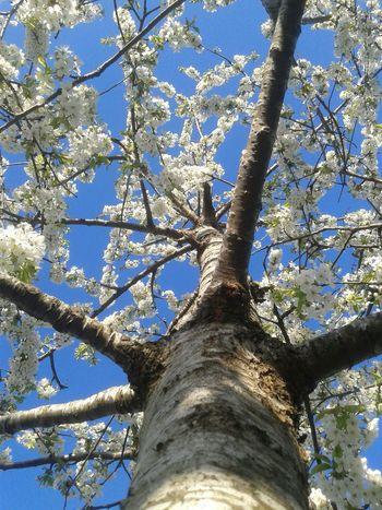 Hugging A Tree Spring Cherry