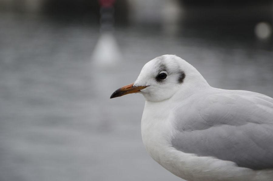 Animal Animals Bird Citta City Close-up Gabbiano Geneva Lake Geneve Ginevra Lago Lake Nature Seagull Uccello