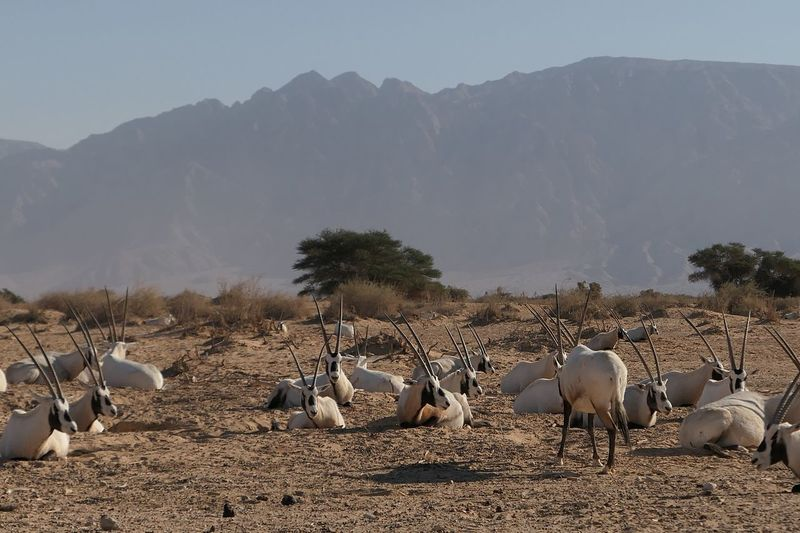 Oryx resting on landscape against clear sky