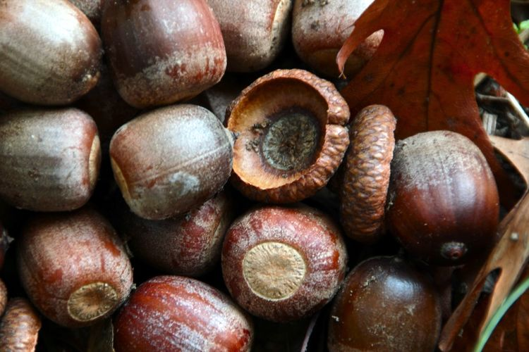 Natural Pattern Acorns Backgrounds Close-up Large Group Of Objects Nature No People Wallpaper