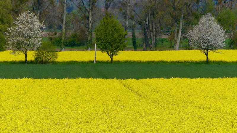 Yellow Tree Flower Beauty In Nature Nature Growth Field Tranquil Scene Oilseed Rape Plant Landscape Tranquility Agriculture No People Outdoors Day Freshness 16:9