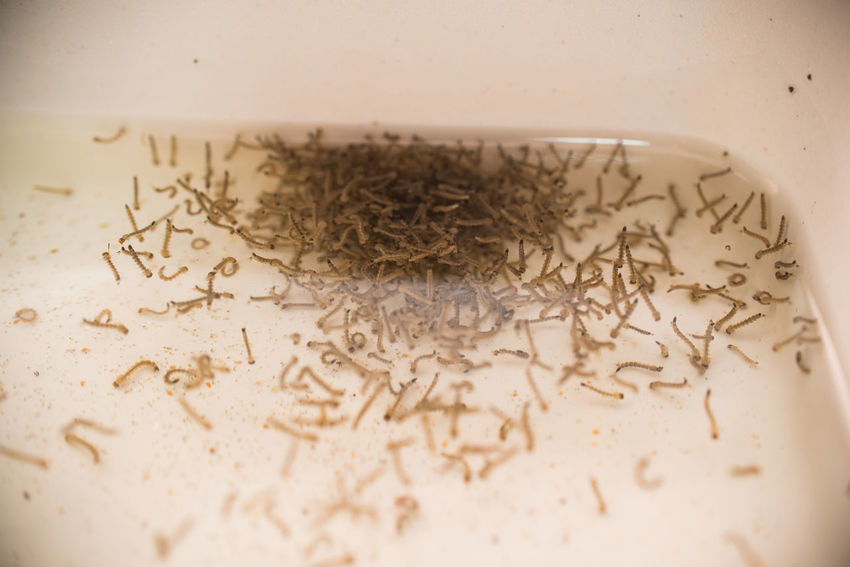 Larvae Mosquito Mosquito Larvae Close-up Day Indoors  No People