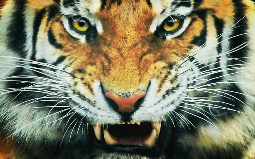 Tiger big Cat Beautiful and Scary at the same time :O