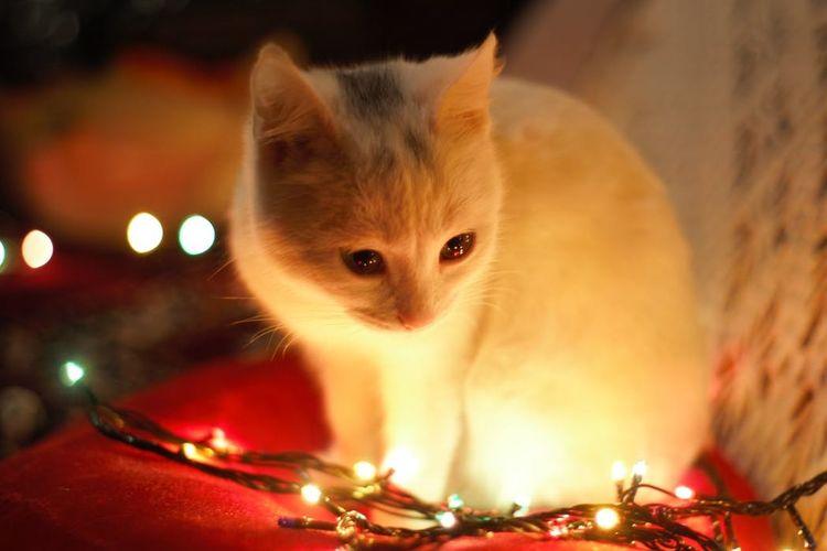 birthday cat Lights Pets Animal Themes Domestic Animals Domestic Cat Night Hamster One Animal