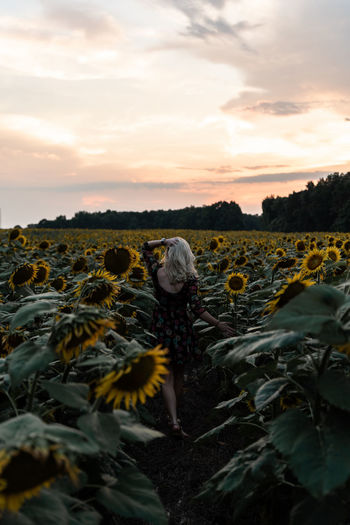 Rear view of young woman walking at sunflower during sunset