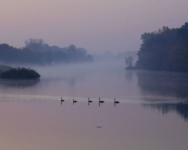 swan squad Swans Swan Water Beauty In Nature Sky Fog Bird Nature Animals In The Wild Scenics - Nature Group Of Animals Lake Animal Themes Animal Wildlife Flock Of Birds No People Animal