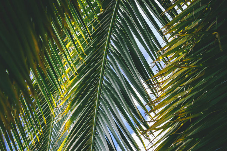 Green palm frond leaves background