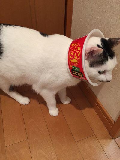 My cat got hurt her ear. The veterinary clinic already closed and I don't have an elizabethan collar. So I used a cup of instant noodle as it. 耳の怪我を掻きむしりひどくなっている。明日は病院が休みでエリザベスカラーも手に入らない。ネットで調べるとカップ麺のカップを代わりに使うといいらしい。早速コンビニで買ってきてつけてみました。本人はかなり戸惑っている様子。 Cat Elizabethan Collar Hurting