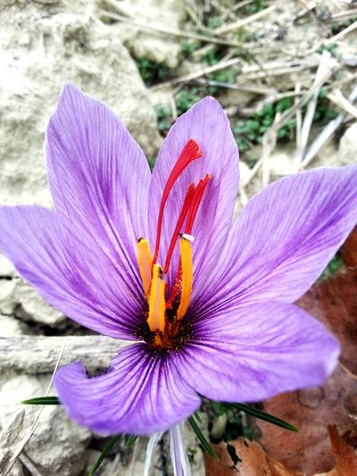 Crocus Sativus Zafferano Piedmont Italy Monferrato Flower Petal Outdoors Fragility Flower Head High Angle View Day Nature Plant