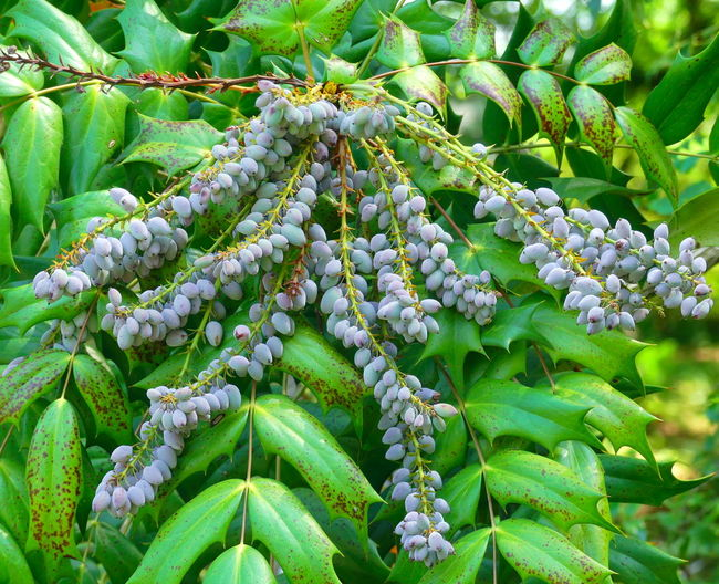 Berries Green Color Leaf Leaves Mahonia Mahonia Flowers Nature No People Outdoors Plant Tree