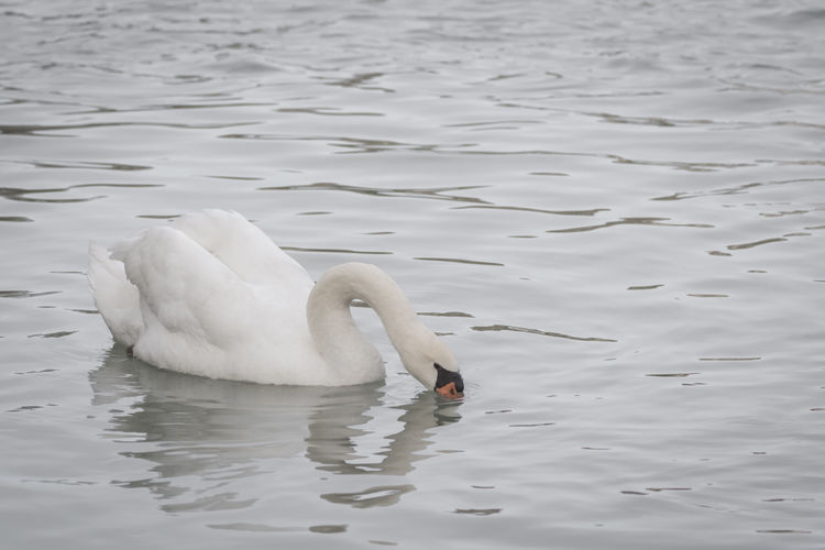 Self-love Animal Themes Animal Wildlife Animals In The Wild Beauty In Nature Bird Floating On Water Heart Lonely Love Nature Reflection River Selflove Swan Swimming Water Water Bird White White Swan Wild Wildlife Wildlife Photography EyeEmNewHere Nature Photography
