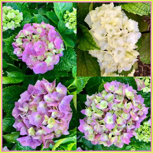 hydrangeas in full bloom 🌸🌺🌸 Hydrangeas Flowers Hydrangerasbush FullBlooom Flowercollage