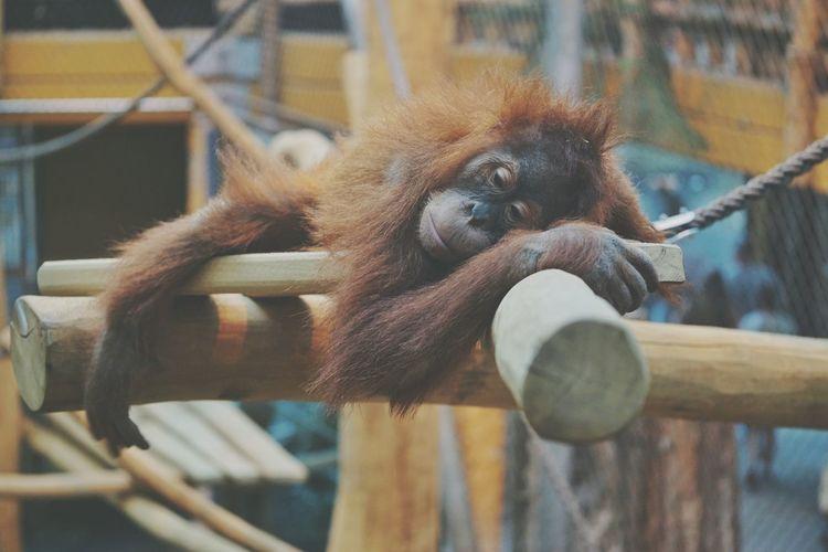 Ape in Prison