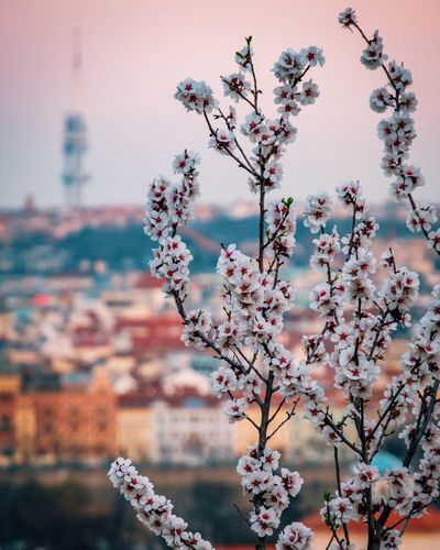 Blooming cherry blossom in Prague with Žižkov TV tower in the background TV Tower Prague Spring Blossom No People Freshness Beauty In Nature Focus On Foreground Close-up