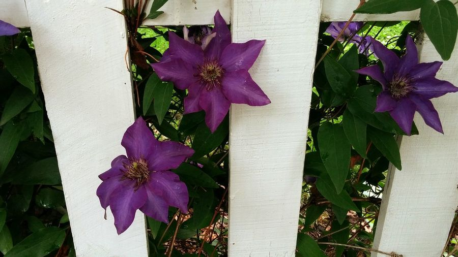 These Flowers are so beautiful. I saw them on a walk today. Summer Fence Purple Purple Flower