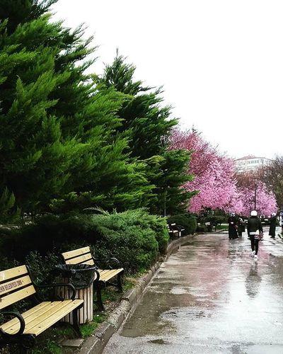 Sıhhıye Fotografvakti Pink Flower Pink First Eyeem Photo Spring Sıhhiye Green Rain Rainy Days Raining Raining Day Rain☔