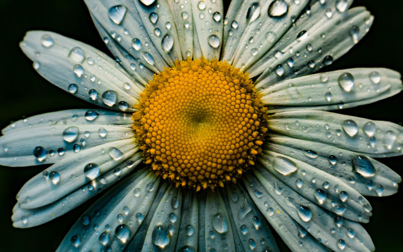 Close-up of water drops on daisy