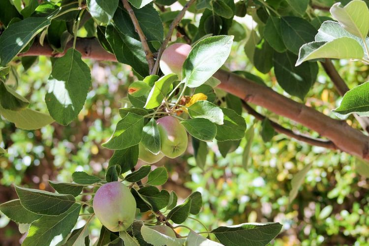 Apple Tree Apples Beauty In Nature Freshness Fruit Green Color Outdoor Photography Pretty Apple Tree Sunlight ☀
