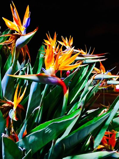 'Birds of paradise' photo by Kristina Sablan. Santa Clara, California Flower Nature Beauty In Nature Growth Bird Of Paradise - Plant Plant No People Fragility Flower Head Outdoors Freshness Day Close-up Colors Colors #color #colorful #TagsForLikes #red #orange #yellow #green #blue #indigo #violet #beautiful #rainbow #rainbowcolors #col Out Of The Box EyeEmNewHere The Week On EyeEm