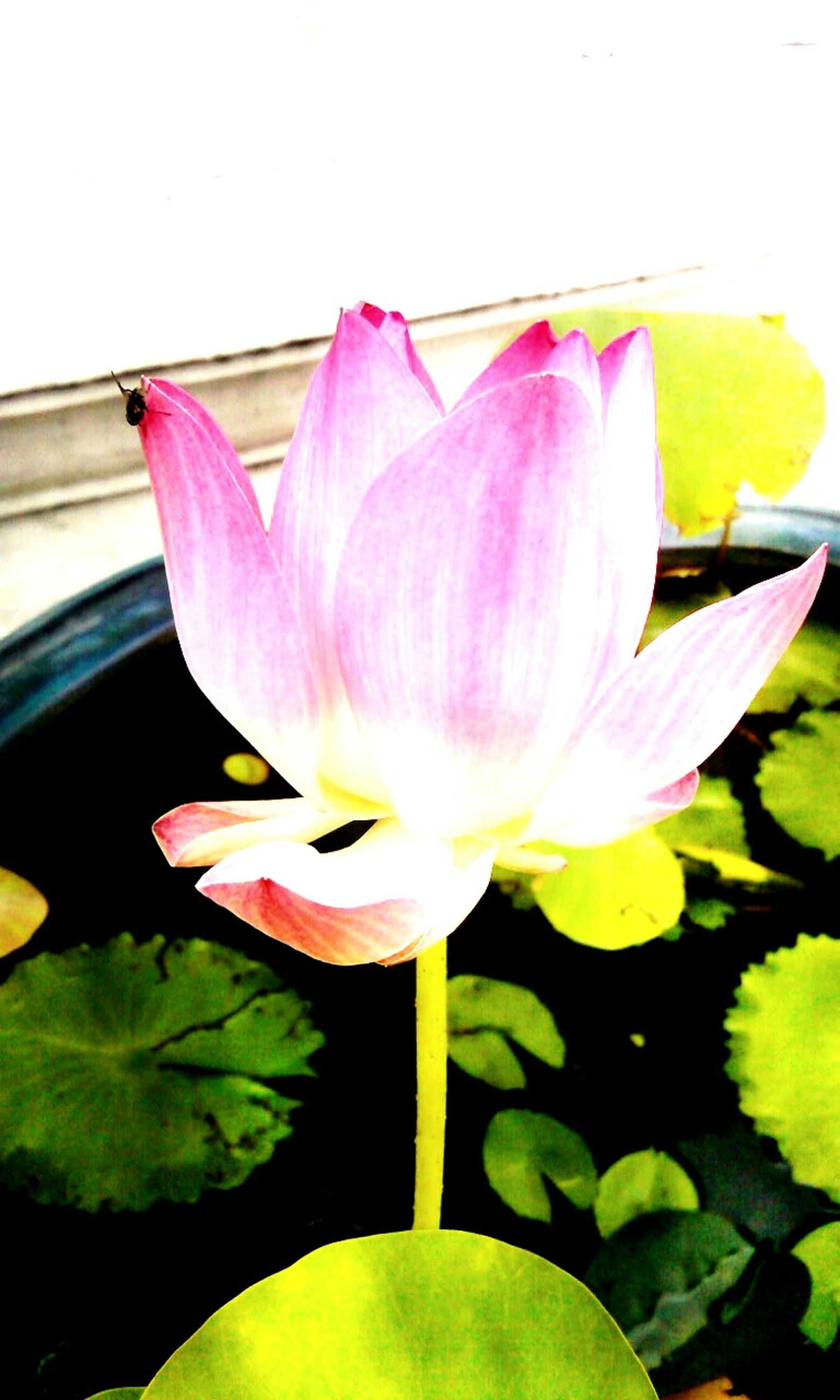 flower, petal, freshness, pink color, flower head, fragility, water lily, lotus water lily, beauty in nature, leaf, close-up, nature, growth, stem, single flower, tulip, pond, indoors, plant, pink