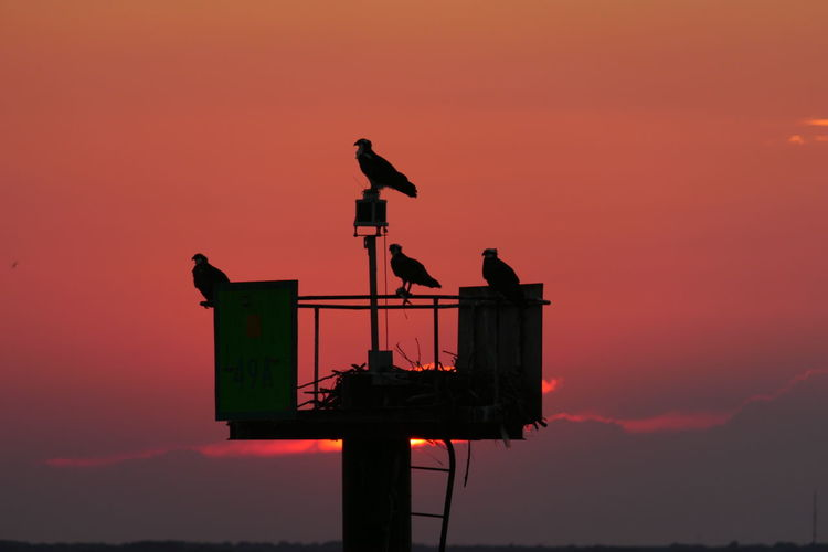 Ospreys, Long Beach Island NJ Sunset Bird Animals In The Wild Sky Animal Wildlife Animal Silhouette Group Of Animals Beauty In Nature Outdoors Ospreys, Ospreys Nesting, Birds Nesting, Birds, Loveladies, NJ Long Beach Island NJ