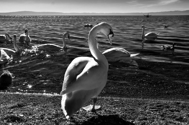Showcase: February Sun Swan Black & White Blackandwhite Black And White Blackandwhite Photography Black&white Trevignanoromano 2016 Italy February February 2016