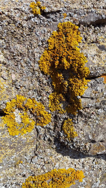 Beauty In Nature Borgholm Borgholms Slottsruin Borgholmslott Close-up Flower Fragility Full Frame Growing Growth Lichen Moss Nature No People Ochre Outdoors Rocky Rugged Scenics Textured  Tranquility Vibrant Color Weathered Yellow Yellow Color