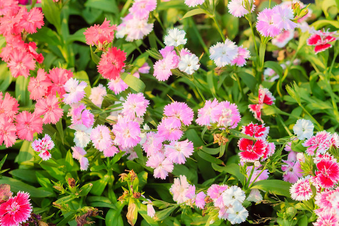 Beautiful Pink, Indian pink, China pink, or Rainbow pink Flowers inthe garden on the sunny day. Selective focus Beautiful Nature Beautiful Flowers Of My Garden. China Pink Indian Pink Flower Indian Pink Rainbow Pink Beautiful Flower Beautiful Flower, Natural Color, Beautiful Flowers Beautiful Flowers Garden Nature Beautiful Flowers Make Me Happy Pink Flower Pink Flowers Soft Pink Soft Pink Flower Soft Pink Flowers Soft Pink Petal Soft Pink Petals