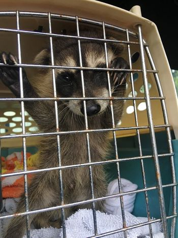 Poor baby raccoon was found near a burn pile. Rescue Raccoon Raccoon Baby Raccoon Baby Raccoons Animal Themes One Animal Cage Close-up Mammal Animal Head  Curiosity Zoology Looking No People Animal Snout Orphan Rescued Baby Animals Cute Wild Wildlife Photooftheday IPhone Wildlife & Nature