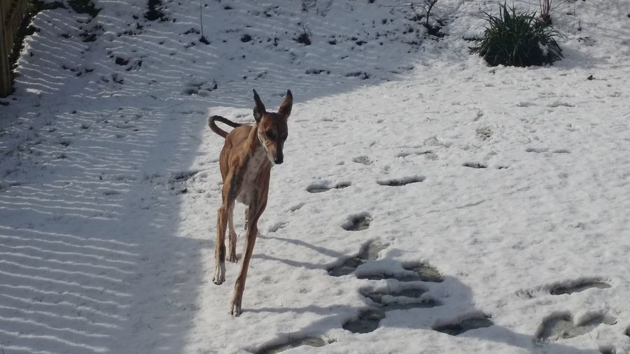 Lurcher Sighthound Longdog Snowday Dogs Of EyeEm EyeEm Selects Pets Dog Snow Cold Temperature Winter