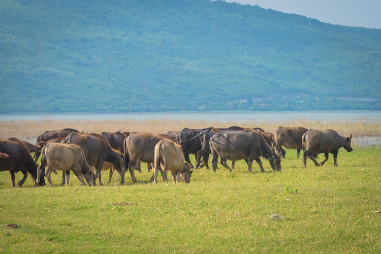 Buffalo is eating grass on the lake. Animal Animal Themes Animal Wildlife Animals In The Wild Day Domestic Domestic Animals Environment Field Grass Group Of Animals Herbivorous Herd Land Landscape Livestock Mammal Nature No People Outdoors Pets Plant Vertebrate