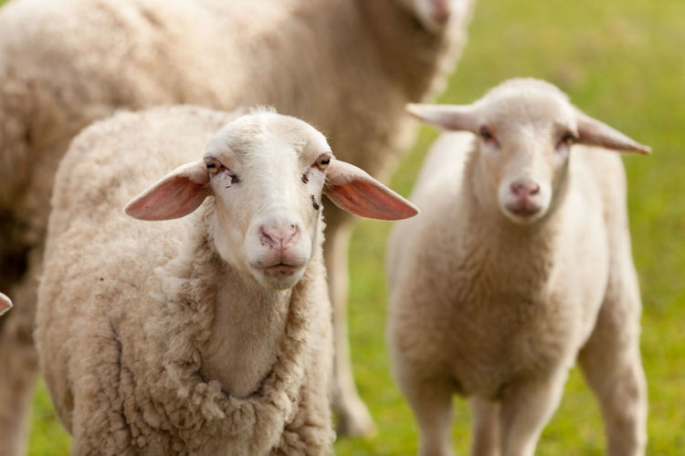 Portrait of sheep standing in a field