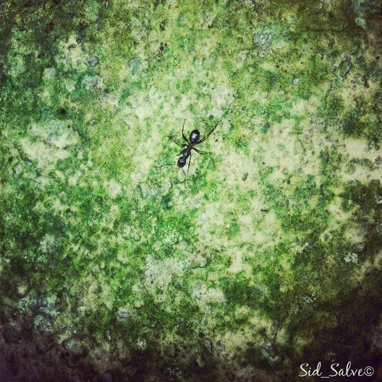 Bull ant.!! (Phone macro photography) Bullant Ant Deadly Macro Macromode Photography Fungus Green