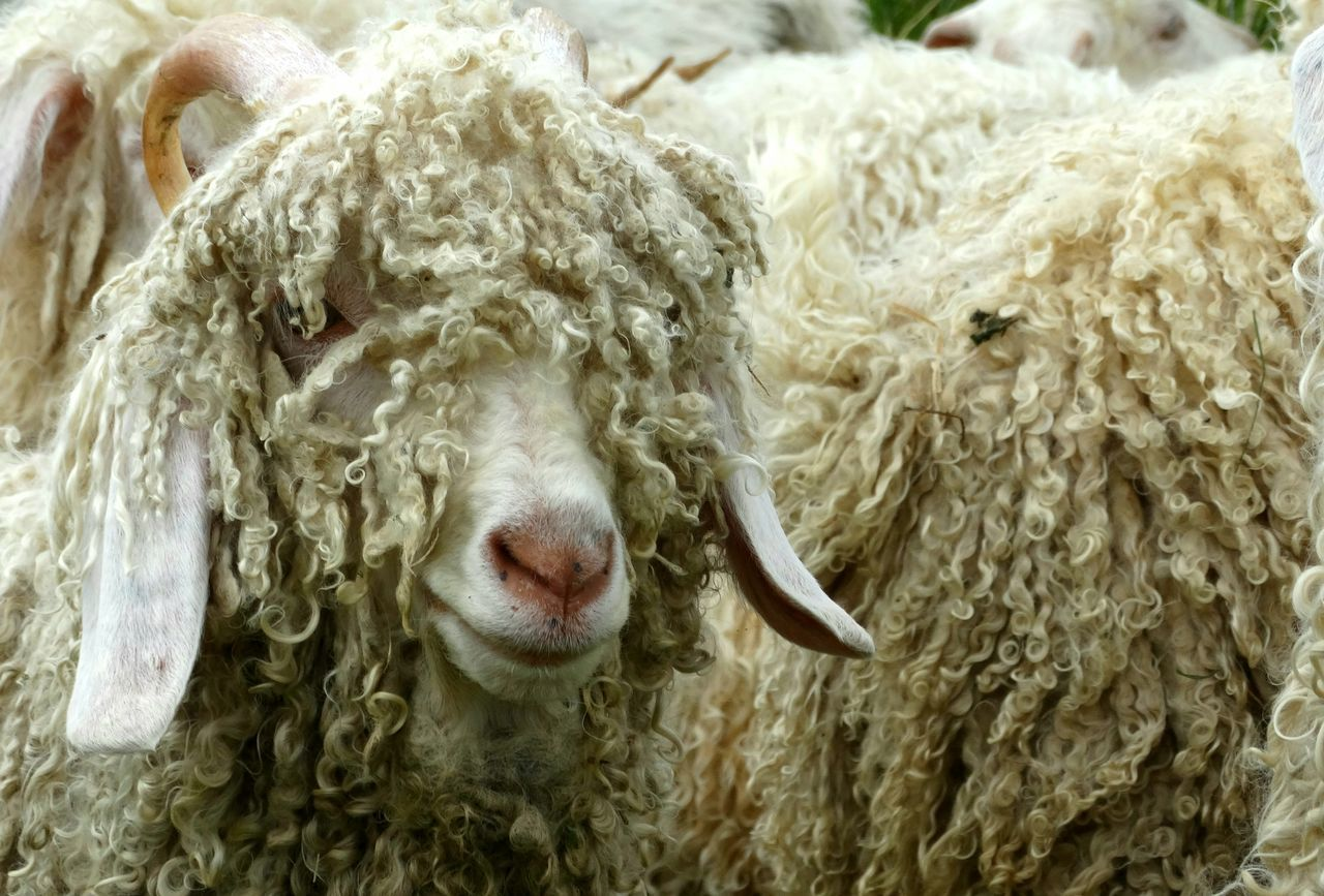 sheep, livestock, mammal, animal themes, domestic animals, animal, wool, domestic, one animal, pets, textile, animal body part, animal hair, close-up, no people, animal head, day, hair, vertebrate, focus on foreground, herbivorous, softness