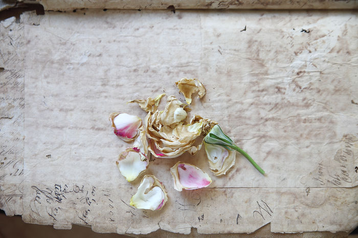Old document pages with faded rose Copy Space Dead Rose Faded Flower Handwriting  Letters Love Natural Light Nobody Nostalgia Old-fashioned Script Paper Regret Romantic Rose Petals Textures Torn Edges Vintage Text Well-used Words Worn
