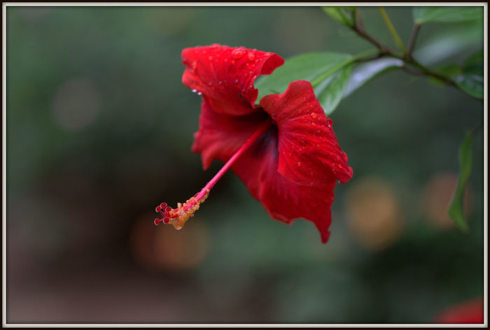 Flaura and Fauna of Alcudia Macro Nature Macro_flower Hibiscus Hibiscus Flower Hibiscus 🌺 Green Color Growth Plant Tree Beauty In Nature, Branch Branches And Leaves Close-up Day Flaura And Fauna Flaura And Fauna Of Alcudia Flower Head Flowers Fragility In Nature Leaf Nature No People Outdoors
