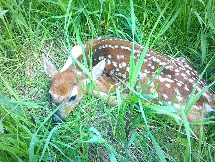 My dog spotted this newborn fawn before I did while we were running. My dog was standing very still and did not bother the fawn. I snapoed a quick picture and continued on my way. Spring Into Spring EyeEm Nature Lover Hugging A Tree Country Life My Running View The Great Outdoors - 2015 EyeEm Awards Protecting Where We Play