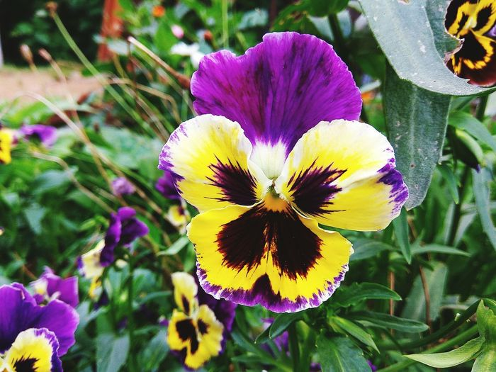 Flower Petal Flower Head Fragility Beauty In Nature Nature Growth Freshness Pansies Blooming No People Yellow Pansy Flower Springtime Heartsease Love-in-idleness Plant Outdoors Close-up