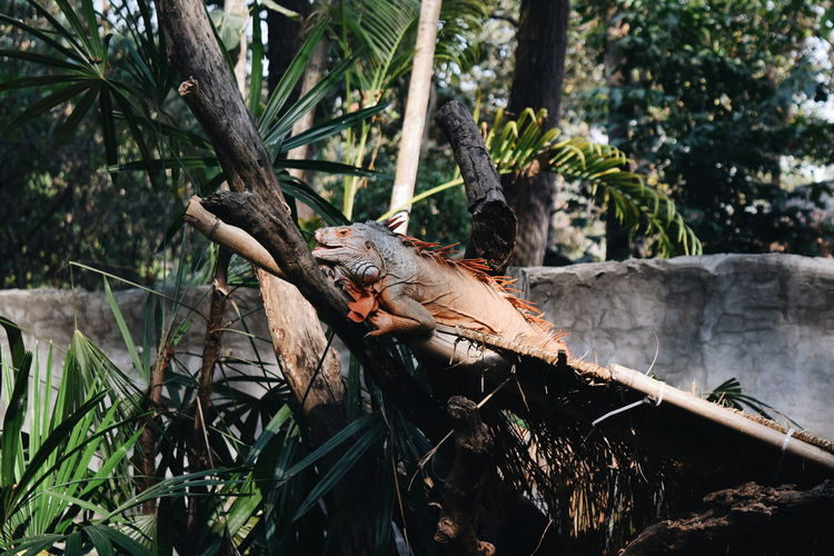 Zoo Zoo Animals  Thailand Branches Tree Reptile Perching Branch Iguana