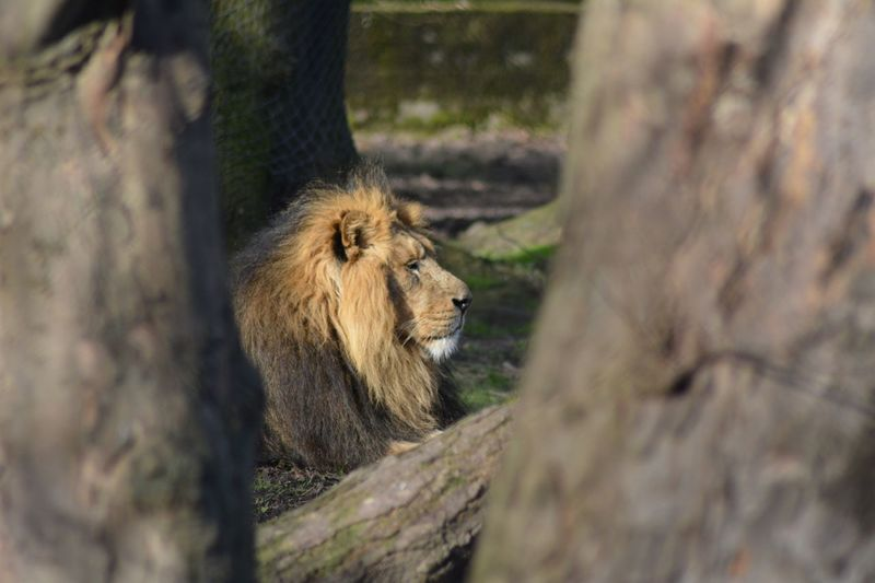 Chesterzoo Nikon D5200 Animals Lion Big Caturday 😺