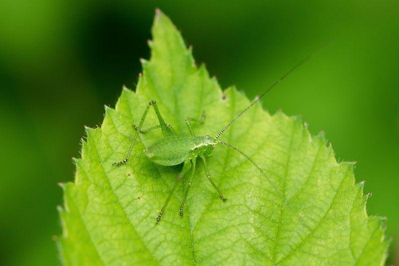 Close-up of speckled bush cricket on leaf