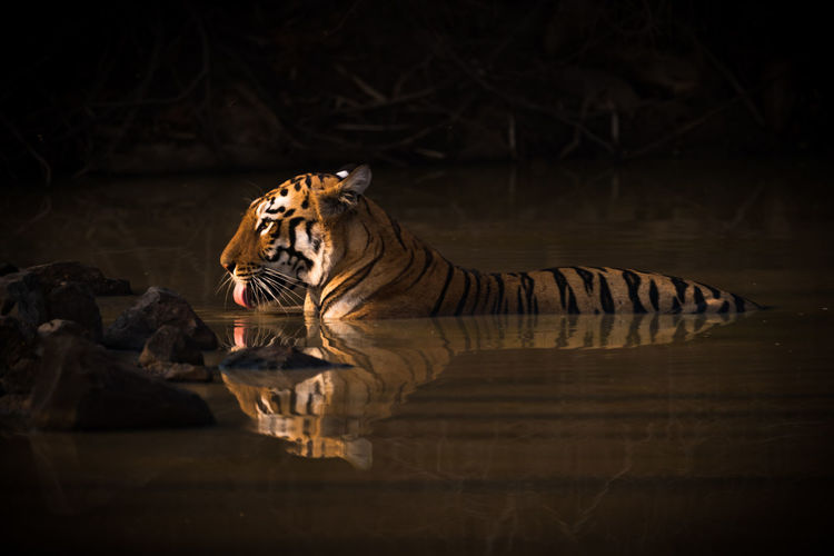Tiger in the wild
