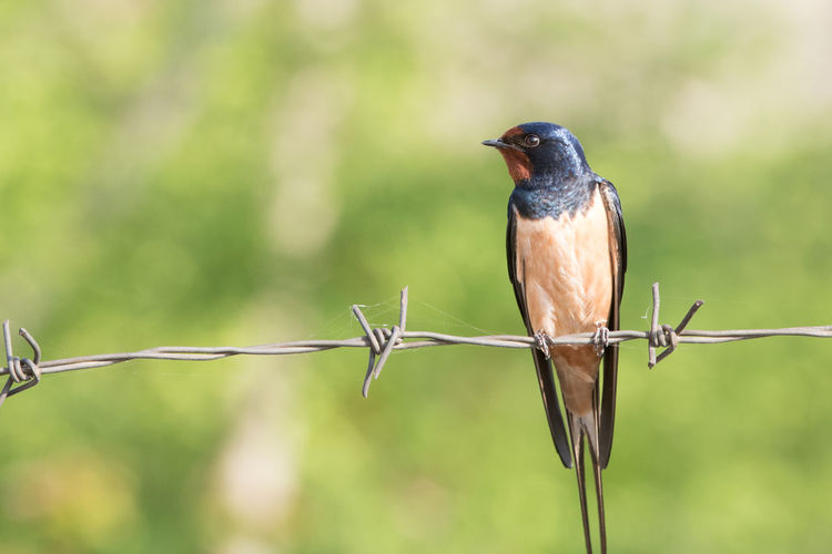 Close-up of bird perching on barbed wire