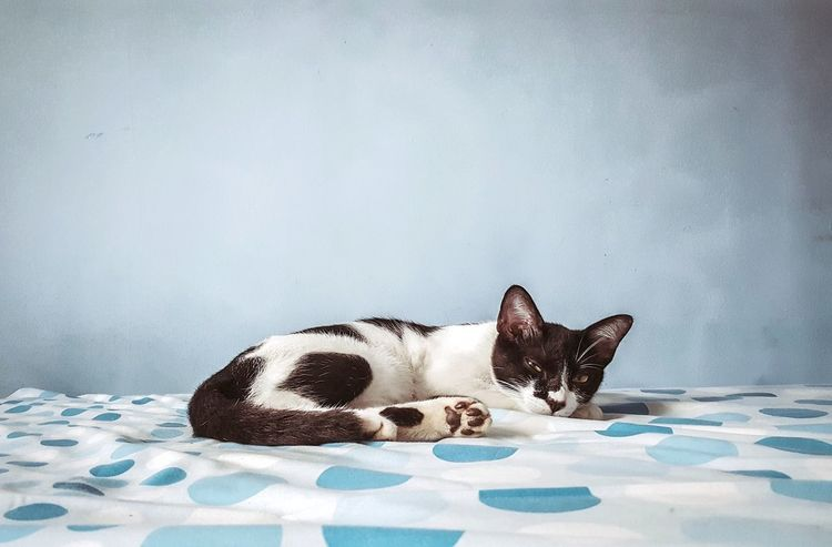 Animal Portrait Pets One Animal Lying Down No People Mammal Yawning Cat Cats Cats Of EyeEm Feline Lazy Sleepy Blue Cool Colors Pattern Textured  Blue Paint Tired EyeEmNewHere Cute Pets Lovely Cat Meow Bedroom