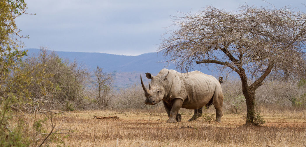 Rhinoceros Walking On Grassy Field