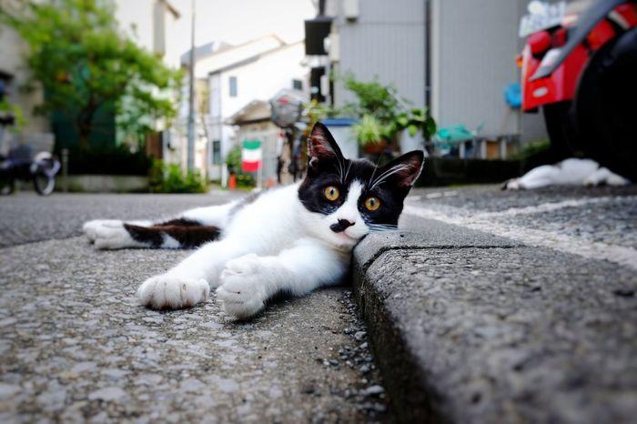 Animal One Animal Cute Animal Themes Street Mammal Outdoors No People Day Cats Of EyeEm Cat Fujifilm_xseries FujiX70 Voigtlander28mm Voigtländer Japan